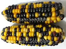 Corn Gold & Blue Dent - A Beautiful & Stunning Blue & Gold Corn Variety!!!