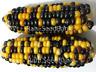 Corn Gold & Blue Dent - A Beautiful & Stunning Blue & Gold Corn Variety!!!