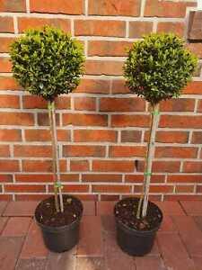 2 Stück Buchsbaum - Stamm, Höhe: 90 cm, Bonsai, Buxus, Formschnitt + Dünger