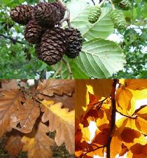 Conjunto De: 25 conos de Aliso 25 hojas del roble 25 buchenblätter para gambas