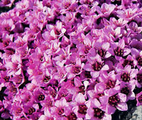 ROCKFOIL ROSE ROBE Saxifraga Arendsii - 500 Bulk Seeds
