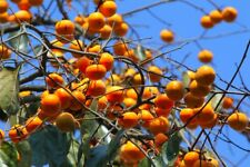30 Persimmon Fruit Tree Seeds Diospyros Kaki Home Orchard Garden Plant Trees