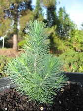 2X LIVE TREE CUTTINGS PINUS PINASTER PINUS PINEA STONE PINE Pino piñonero