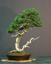 Italian Stone Pine (Pinus pinea) - Bonsai or Edible Feature - Seeds
