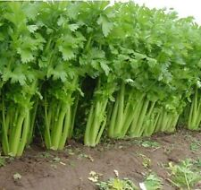 300 Seeds Tall Utah 52-70 CELERY Improved non GMO Heirloom crispy Cold Hardy!