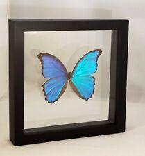 Morpho Didius Präparierter Schmetterling im doppelRahmen butterfly taxidermy
