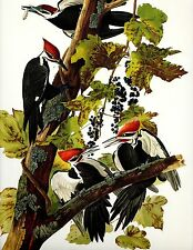 "Audubon""s  >PILEATED Woodpecker  < Classic art at a great price ! Lithograph"