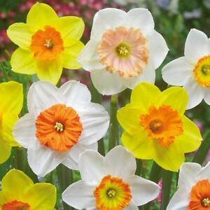 Daffodil Narcis mixed   - 15 Bulbs Per Pack 40cm