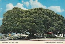 POST CARD-SANTA BARBARA/CALIFORNIA-Moreton bay fig tree