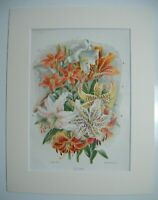 Antique c1880 Chromolithograph Botanical Floral Flower Print in Mount - LILIES
