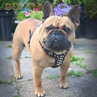 Bestia Rocky studded leather dog harness. French Bulldog size. 100% leather