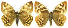 MOUNTED SPREAD BUTTERFLY - Castnia (Synpalamides) phalaris, male 1, Brasil