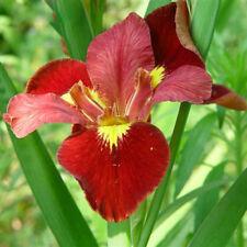 Red Iris Orchid Seeds Beautiful Perennial Flowers Seeds Iris Flower 50 Pcs