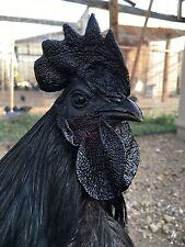 1 Pure Ayam Cemani Hatching Eggs