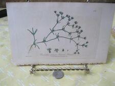 Vintage Print,ANNUAL KNAWEL,British Flowering Plants,W.Baxter,1840