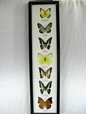 7 echte exotische Schmetterlinge hinter Glas im Schaukasten aus Holz    7er_h_05
