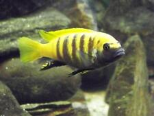 WetPets Metriaclima zebra gold kawanga F1 Malawi Juvies plus rarer fish LOOK.