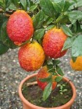 20 PCS/BAG red lemon tree also is Blood Orange Organic fruit seeds bonsai red li