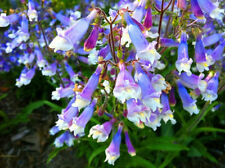 Hairy Beardtongue-(Penstemon Hirsutus) 50 Seeds! ! Hardy Perennial! Comb. S/H!