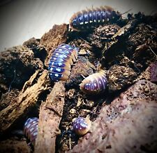 10 X Armadillidium Klugii Isopods Woodlice springtails bioactive clean up crew