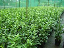 Kirschlorbeer Herbergii 80/1,00m 8 Pflanzen  95,00€ einschl. Versand betse Quali