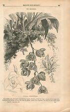 Orchidées Orchidacées Fleurs Orchidaceae Plante GRAVURE ANTIQUE OLD PRINT 1853