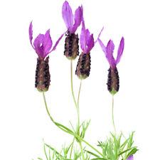 10 pcs French Lavender (Lavandula Angustifolia ) vanilla seeds