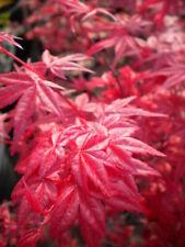 """ACER PALMATUM cv """"DESHOJO"""" v22 acero rosso pianta Japanese maple plant"""