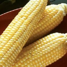 50 Corn Seeds Sugar Buns Hybrid Corn Seeds