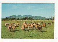 New Zealand Dairy Herd Cows 6 x 4 Plain Back Postcard 253c