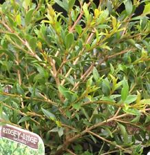 MERIDIAN MIDGET Syzygium native miniature lilly pilly plant in 140mm pot