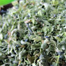 Fresh Organic Dried Catnip Nepeta Cataria Cat  Leaf Flower Herbal Mint
