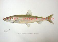 Freshwater Smelt Bait ~ Old 1902 Sherman Denton Game Fisherman Fishing Art Print