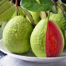 "GUAVA PEAR Live Fruit tree 12""-24"""