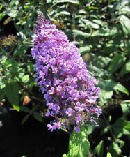Schmetterlingsflieder Camberwell Beauty - Buddleja davidii Camberwell Beauty - S