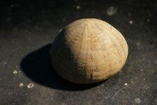 Echinocoris Vulgaris