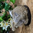 L35b Taxidermy Oddities Curiosity half mount Bunny Rabbit Butt Rump Collectible