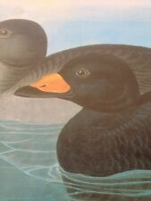 Black Scoter American Scoter Duck Audubon Bird Print Picture Art