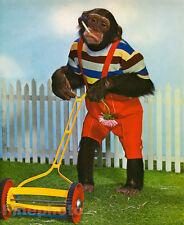 1959 MONKEY HUMOR Chimpanzee CUTTING GRASS Lawn Mowing Smoking Animal Photo Art