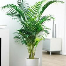15 Graines Dypsis Lutescens Bamboo Palm Golden Palm