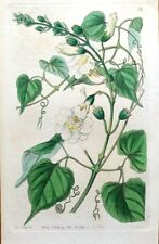 BIGNONIA LADY CAROLINE Buenos Aires Curtis Vintage Antique Botanical Print 1844
