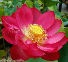 10Pcs Red Lotus Seeds Water Lily Pad Nymphaea Nelumbo Nucifera Pond Plant Flower