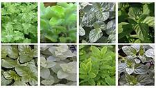 Ultimate Mint Plant Collection *12 different varieties*