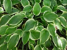 So Sweet Hosta Hardy Heavy Established Rooted Perennial 1 Qt Potted Plant