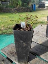 1 x lime thyme plant - tube size Thymus x citriodorus 'Lime' perennial herb