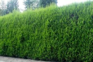 Pallet 10x 6-7ft Extra Large Green Leylandii Cupressocyparis Hedging Trees 5L