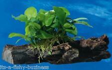 Anubias Nana on Bogwood Tropical Live Aquarium Plant java moss shrimp