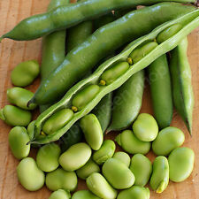 BROAD BEAN - MEDES -  35 SEEDS - High-yielding POPULAR