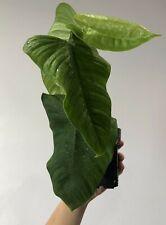 --Philodendron Gardeniodorum Aff--Rooted--Rare--Aroid-- Plant--UNIQUE--Araceae