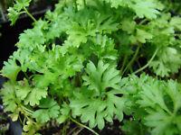 Parsley FRAGRANT Seeds organic non gmo seeds Ukraine 1 g Farmer's dream